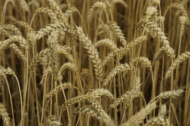 Семена Озимой пшеницы Таня,Юка,Гром