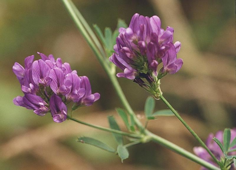 Семена люцерны Манычская, Славянская