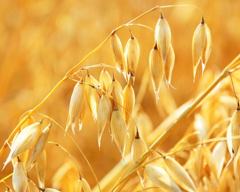 Семена ярового овса