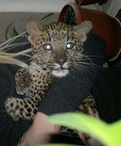 Леопард купить можно у нас, продам персидского леопарда