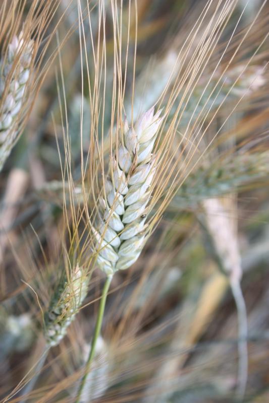 Семена озимой пшеницы и ячменя на посевную 2018