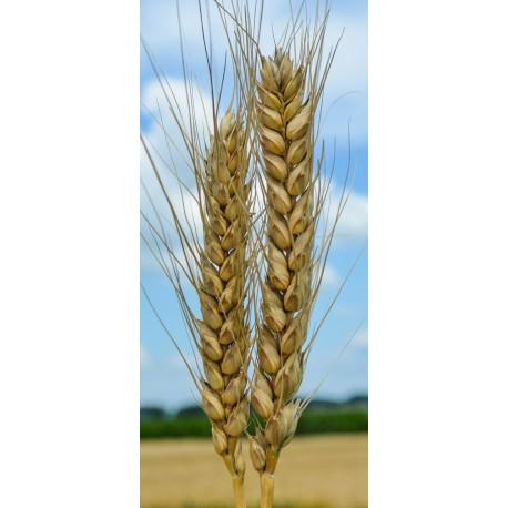Семена озимой пшеницы Гурт, Антонина, Баграт, Дуплет, Нота, Сварог, Юка и др.