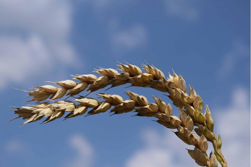 Семена озимой пшеницы на посевную 2020 ЭС, РС-1
