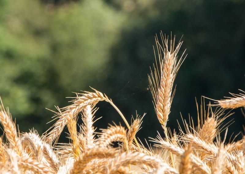 Семена озимой пшеницы сорта Гром, Таня, Юка ЭС, РС-1